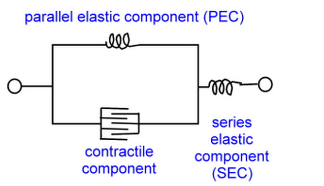Three-element Hill muscle model
