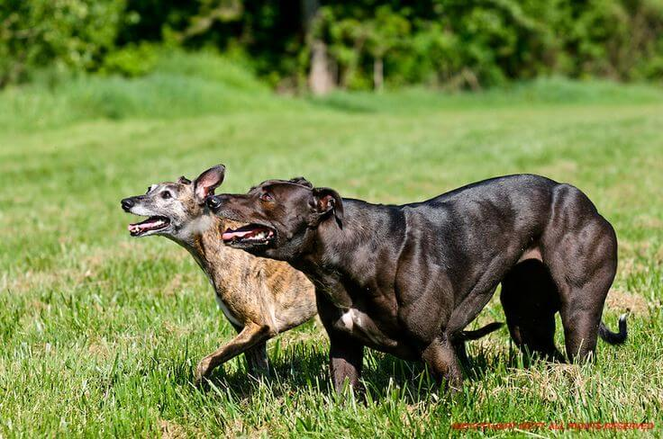 These two dogs are the same breed, but one doesn't have any working copies of the myostatin gene. There are only two confirmed cases of this in humans, and both are still young (early adolescents), and the parents of one have kept his identity a secret. It'll be interesting to see where they wind up when they're older.
