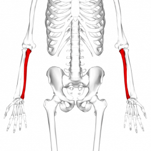 Ulna How to Bench