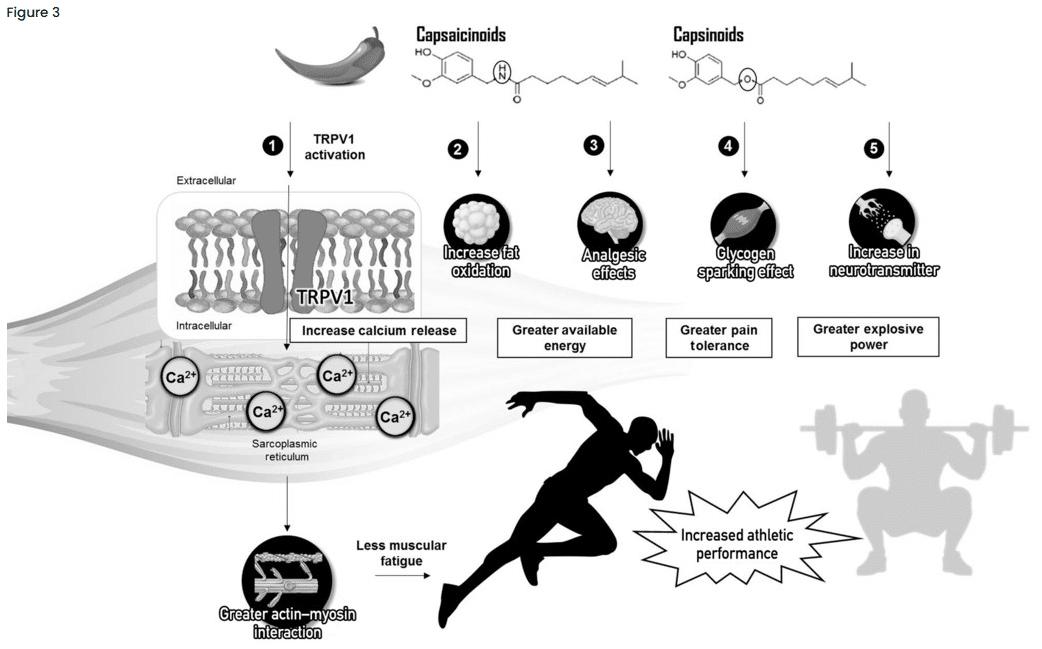 capsaicinoids mechanisms vilton