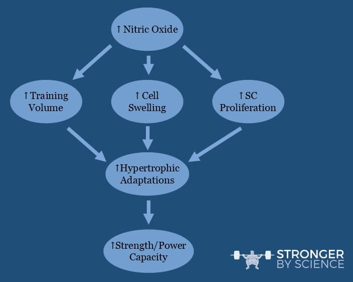 Theoretical model linking nitric oxide precursor supplementation to hypertrophy and long-term training adaptations.