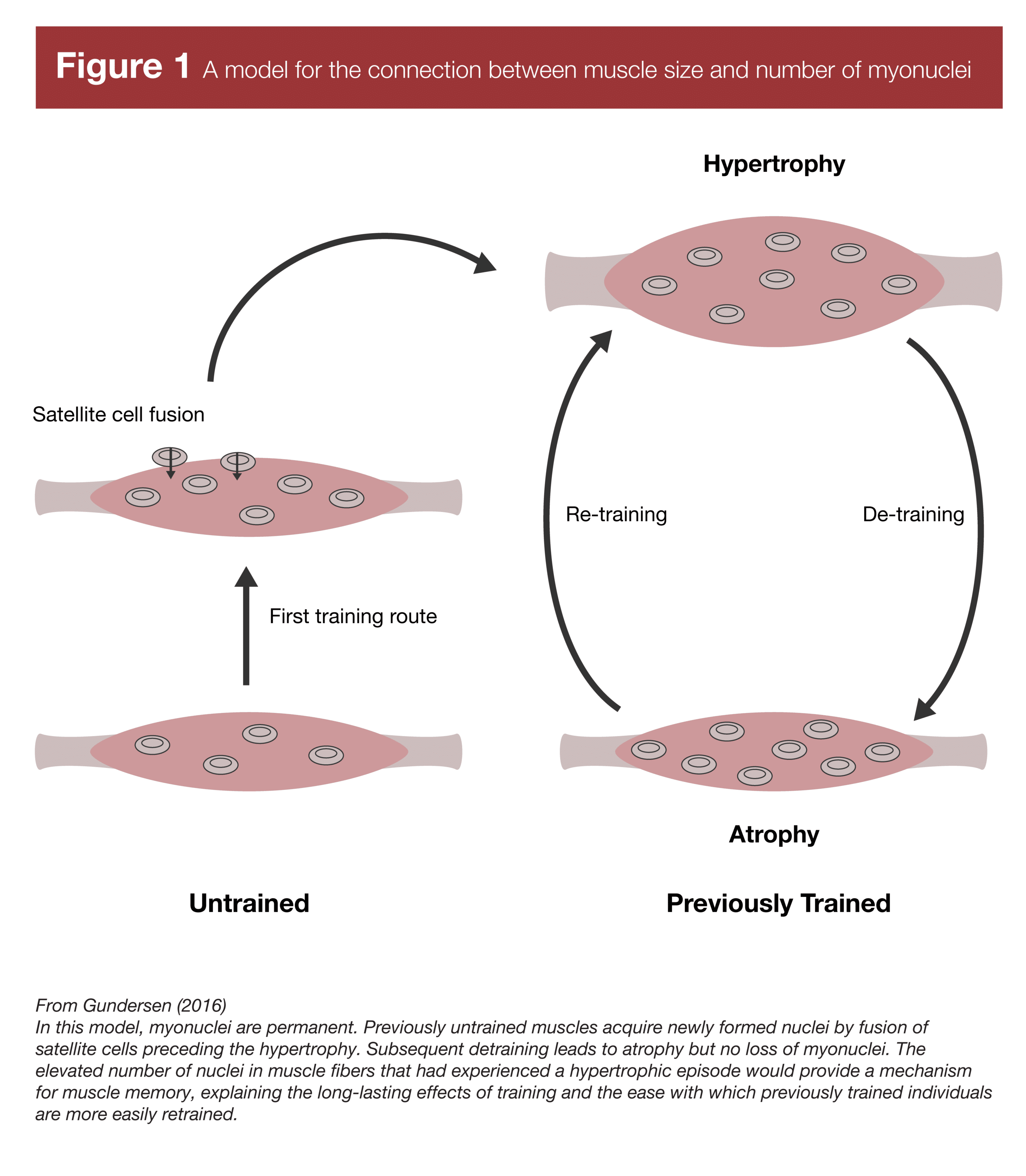 A model for the connection between muscle size and number of myonuclei